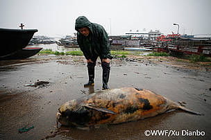 Dead Yangtze finless porpoise found in Dongting lake, China on April 15