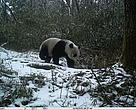 A wild giant panda is seen in this photo captured by infra-red camera trap in Anzihe Nature Reserve in Sichuan, China.
