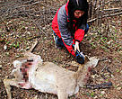 A conservation officer checks the body of the sika deer which is thought to be preyed on by a big cat in Wangqing.
