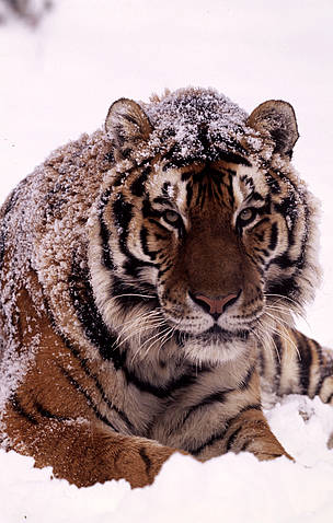 China Launches Plan to Recover Wild Tigers   WWF China