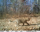 Amur Leopard shot by WWF camera in Northeast China in 2013